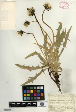 Image of Taraxacum carthamopsis