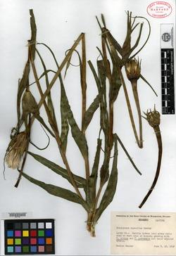 Image of Tragopogon miscellus