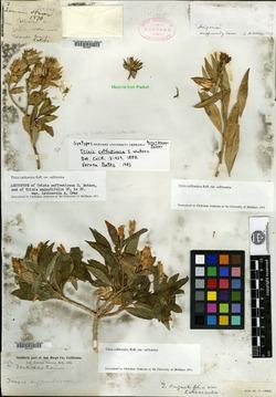 Image of Trixis suffruticosa