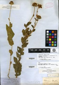 Image of Actinomeris wrightii