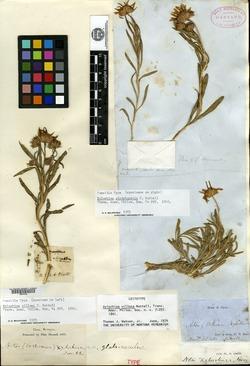 Image of Xylorhiza villosa