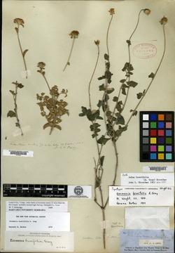 Jefea brevifolia image