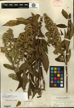 Image of Solidago calcicola