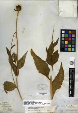 Rudbeckia occidentalis image
