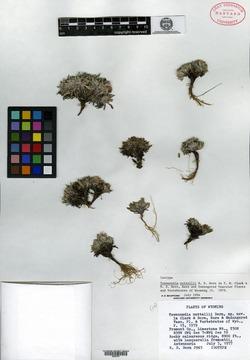Image of Townsendia nuttallii