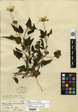 Image of Helianthus vestitus