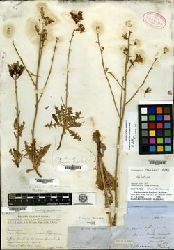 Stephanomeria thurberi image