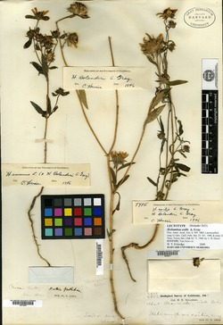 Helianthus exilis image