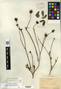 Bidens sambucifolia image
