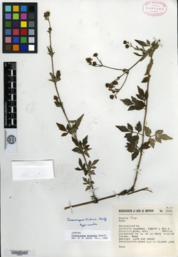 Image of Bidens hintonii