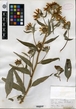 Image of Helianthus oliveri