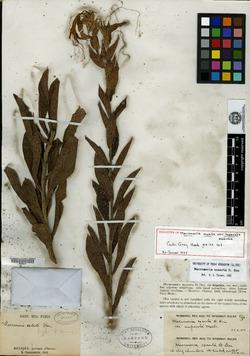 Image of Lithospermum exsertum
