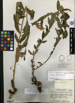 Image of Lithospermum leonotis