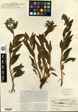 Image of Mertensia incongruens