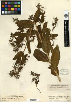 Image of Mertensia mexicana