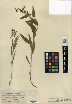 Image of Mertensia clokeyi