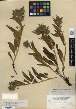 Image of Mertensia congesta