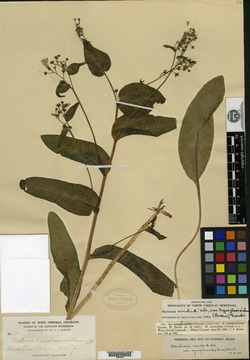 Image of Mertensia cynoglossoides