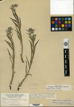 Image of Mertensia lateriflora