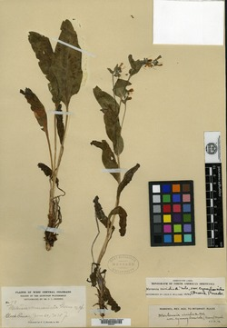 Image of Mertensia muriculata