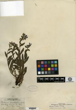 Image of Mertensia myosotifolia