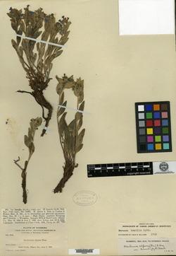 Image of Mertensia humilis