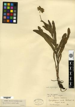 Image of Cynoglossum viride