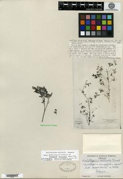 Image of Heliotropium calcicola