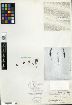 Image of Lasiarrhenum pinetorum