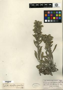 Image of Oreocarya monosperma
