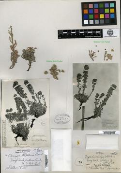 Image of Oreocarya sheldonii