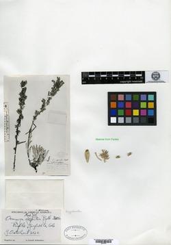 Image of Oreocarya argentea