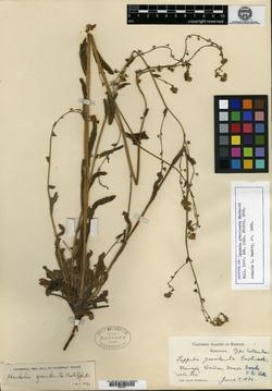 Image of Lappula gracilenta