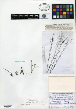 Image of Lappula grisea