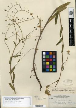Image of Hackelia nelsonii