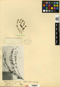 Hackelia mexicana image