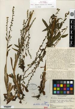 Image of Hackelia leonotis
