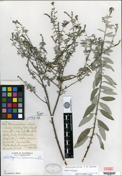 Image of Heliotropium fallax