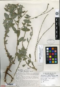 Image of Heliotropium hintonii