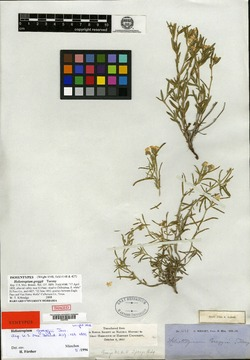 Heliotropium greggii image