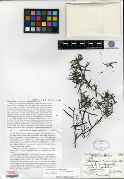 Image of Heliotropium karwinskyi