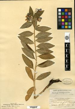 Image of Mertensia polyphylla