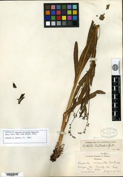 Image of Lappula micrantha