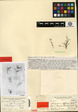 Image of Heliotropium diffusum