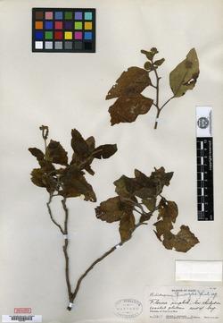 Image of Heliotropium genovefae