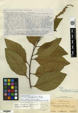Varronia curassavica image