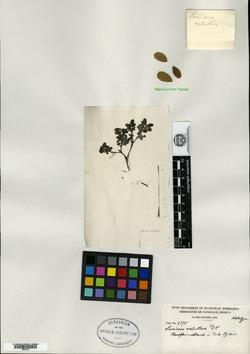 Lonicera caerulea subsp. caerulea image