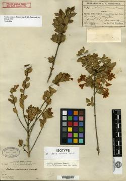 Image of Abelia coriacea