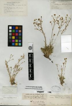 Image of Stellaria kingii