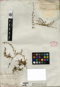 Image of Arenaria bourgaei